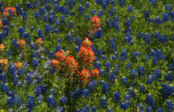 Bluebonnet field with red flowers.PNG