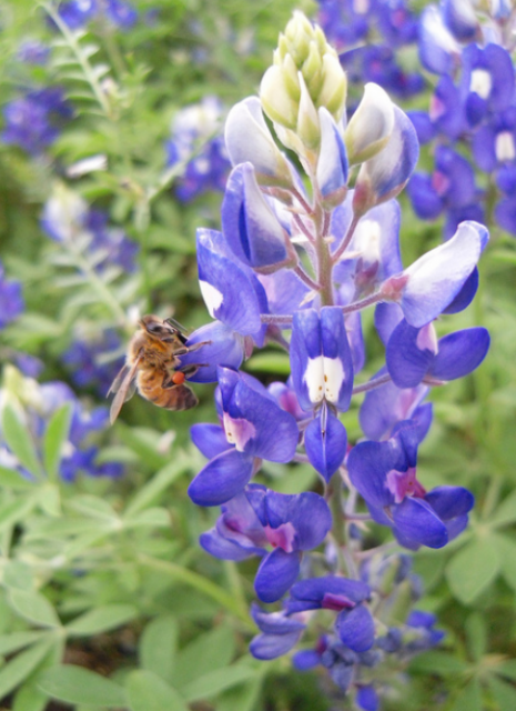 Bluebonnets flowers and bee picture.PNG