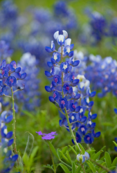 Image of bluebonnets.PNG