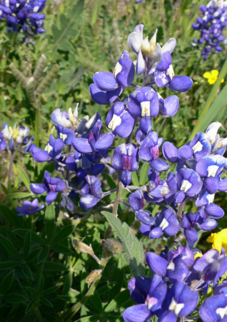 Photo of Bluebonnets.PNG