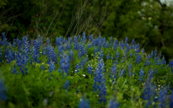 Photo of Texas bluebonnets.PNG