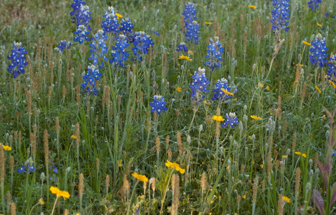 Purple wild flowers Bluebonnets.PNG