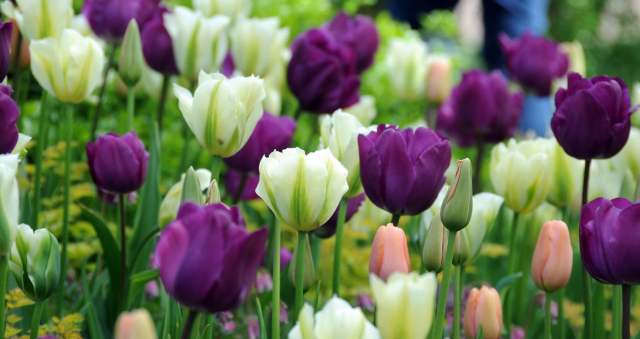 Tulips Netherlands pictures.PNG