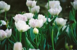 small white tulips.jpg