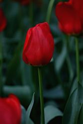 romantic red tulips pohoto.jpg
