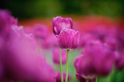 rich purple tulips photo.jpg