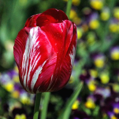 red tulip iwth white lines photo.jpg