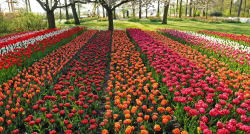 million tulips, daffodils and hyacinths make a spectacular display at the largest spring garden in the world.PNG