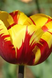 red and yellow tulip flower.jpg