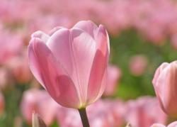 pretty pink tulips picture.jpg