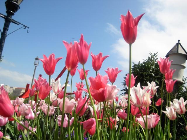 Pink Tulips picture.jpg