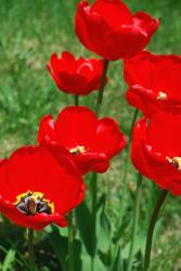 picture of tulips under the sun.jpg