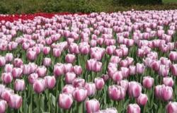 picture of Tulip flowers field.jpg