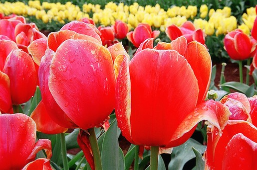 picture of Tulip Festival 2008.jpg
