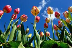 picture of beautiful tulips.jpg