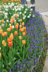 Memphis Botanical Gardens with orange tulips.jpg