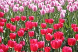 light pink and dark pink Tulip flowers.jpg