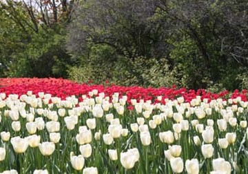 field of flowers with tulips in red and white.jpg