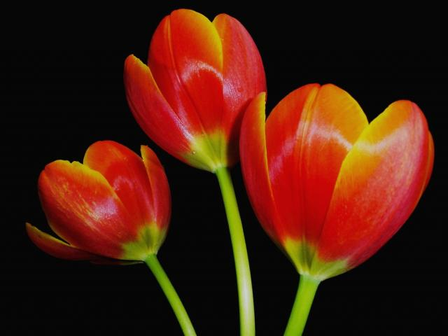 Dark Orange Tulips With Yellow Tone Jpg Hi Res 720p Hd