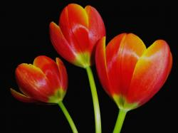 dark orange tulips with yellow tone.jpg