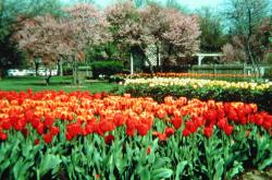colorful Tulips at Foster Park.jpg
