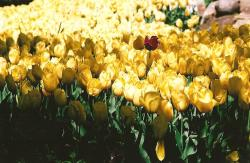 bright yellow tulips picture.jpg