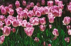 bright tulips photo.jpg