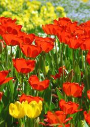 bright red tulips picture.jpg