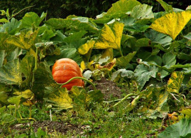 Picture of pumpkin garden with large pumpkin.PNG