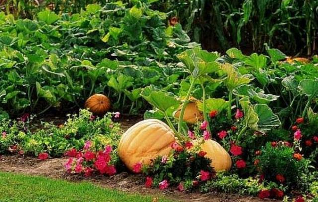 Vegetable garden ideas - Pumpkin Garden Pictures Png Hi Res 720p Hd