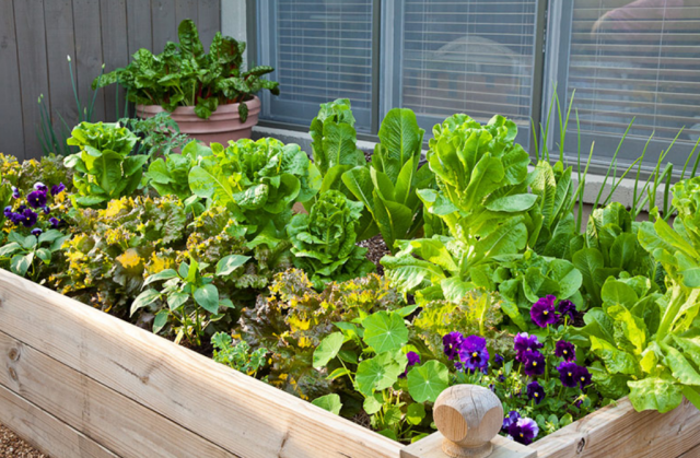 Raised bed vegetables garden ideas_veggies garden with swiss chard