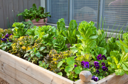 Raised bed vegetables garden ideas_veggies garden with swiss chard, iceberg and lettuce and herb.PNG