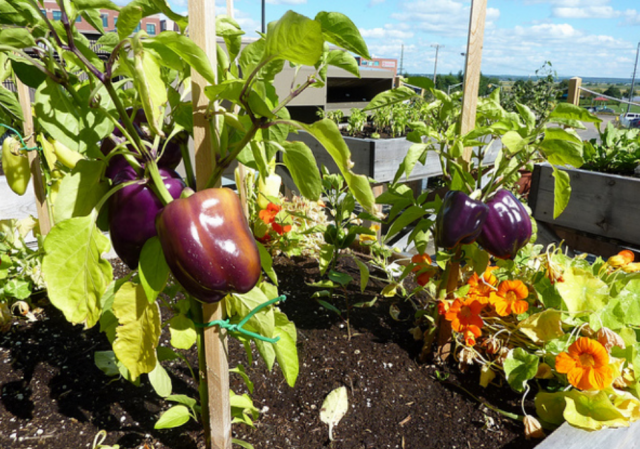 Rooftop Vegetable Garden Growing Chilies And Chili PeppersPNG Hi - Rooftop vegetable garden ideas