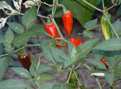 Small vegetable garden growin beautiful chili plants.PNG