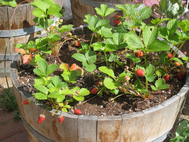 Strawberries garden growing on container.PNG Hi-Res 720p HD