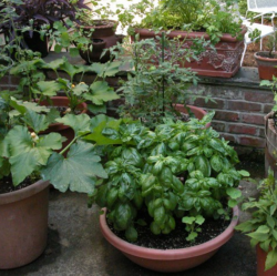 Urban vegetable garden growing veggies and herb in pots.PNG
