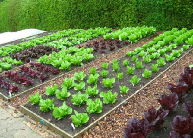 Large raised beds garden with iceberg and lettuce.PNG
