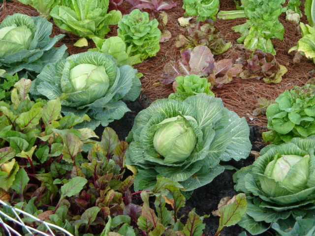 Lettuce Cabbage And Other Vegetable Png Hi Res 720p Hd