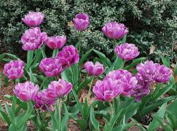 bright purple tuplis at Memphis Botanical Gardens.jpg
