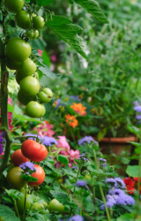 Beautiful potager garden with pretty flowers and tomatoes.PNG