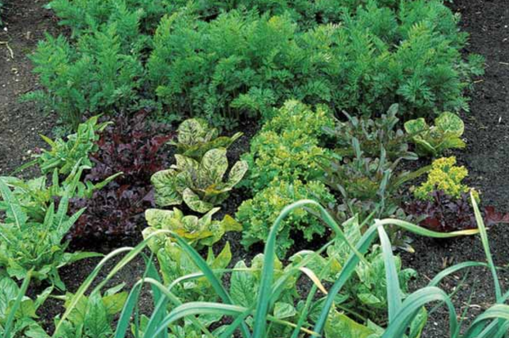 Carrots, lettuces and other vegetable garden pictures.PNG