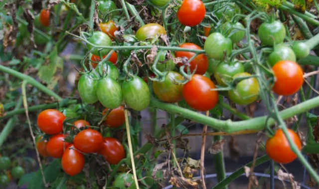 Cherry tomatoes plants pictures.PNG