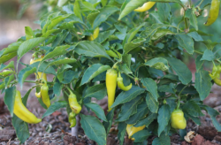 Chili trees pictures.PNG