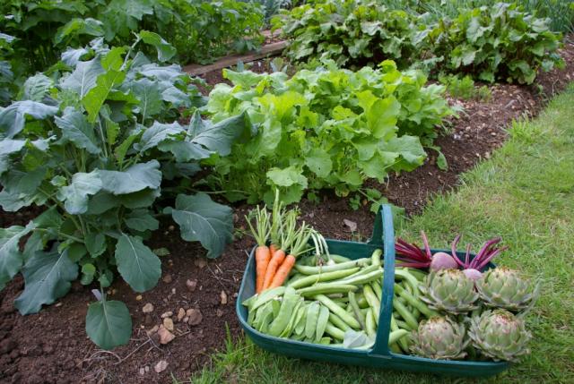 Fresh Vegetables From Home Vegetable GardenPNG