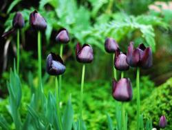 black tulips photo.jpg