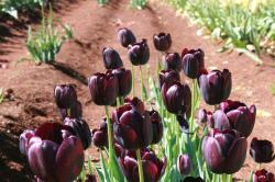 black tulip flower.jpg