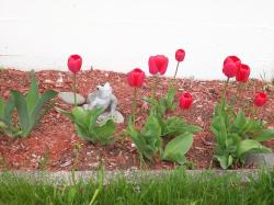 baby tulips in red.jpg