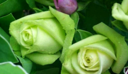 Green roses.PNG