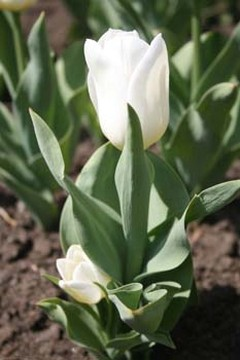 Baby Tulip in white.jpg