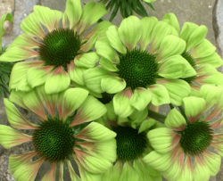 Picture of green flowers with orange touch.PNG